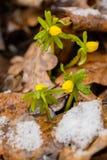 Żółty wiosna krokus Zdjęcia Royalty Free