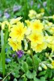 Żółty wysoki pierwiosnek Zdjęcie Stock