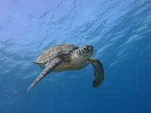 Żółw Obraz Royalty Free