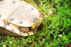 Żółw do góry nogami Obraz Stock