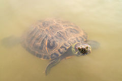 Żółw patrzeje z wody Fotografia Royalty Free