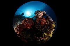 Żółw pod morzem Obraz Royalty Free