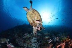 Żółw pod morzem Zdjęcie Royalty Free