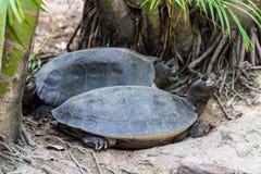 Żółw w Chiangmai zoo, Tajlandia Obrazy Stock