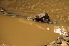 Żółw w jeziorze Obraz Stock