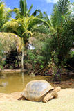 Żółwia odprowadzenie Zdjęcia Royalty Free