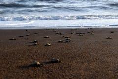 Żółwia uwolnienie Obrazy Royalty Free