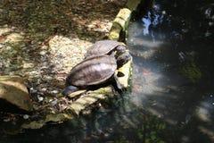 Żółwie Zdjęcie Royalty Free