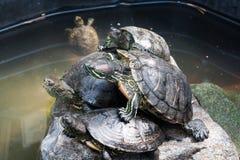 Żółwie bierze sunbath na skale Obraz Stock