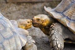 Żółwie wpólnie Fotografia Royalty Free