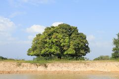 Amazon River - Old Tree on River Bank. Between Óbidos and Oriximiná this remarkable old tree broke the monotony of the regular jungle vegetation at the stock photo