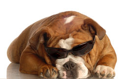 Óculos de sol desgastando do buldogue fotos de stock royalty free