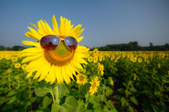 Óculos de sol dos girassóis Fotografia de Stock