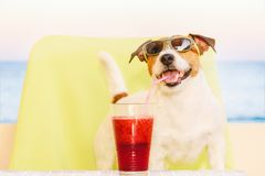 Óculos de sol vestindo do cão feliz que bebem o batido de fruta através da palha do cocktail imagens de stock royalty free