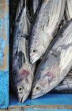 łódkowaty tunafish Zdjęcie Royalty Free