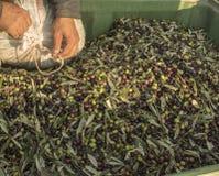 Óleo e azeitonas Cilento Campania Aquara () Oliv virgem extra Imagens de Stock