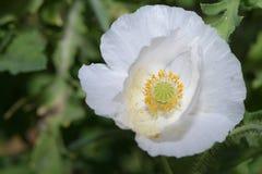 Ópio branco no fundo verde Fotografia de Stock Royalty Free