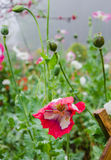 Ópio, flores, Imagens de Stock