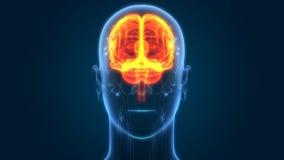 Órgão central do sistema nervoso humano Brain Anatomy ilustração stock