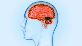 Órgão central do sistema nervoso humano Brain Anatomy ilustração royalty free