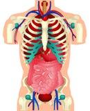 Órgãos humanos Imagem de Stock Royalty Free