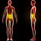 Órgãos humanos do corpo do músculo (grandes e intestino delgado) ilustração do vetor