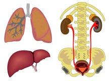 Órgãos humanos internos Imagem de Stock