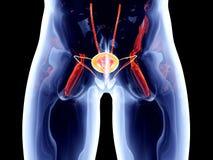 Órgãos internos - bexiga Fotografia de Stock Royalty Free