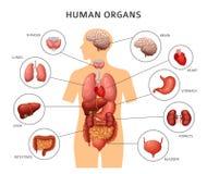 Órgãos internos de corpo humano Estômago e pulmões, rins e coração, cérebro e fígado Infographics médico do vetor da anatomia ilustração do vetor