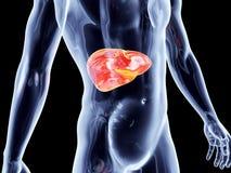 Órgãos internos - fígado Fotografia de Stock Royalty Free