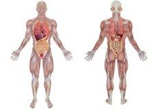Órgãos internos humanos Foto de Stock Royalty Free