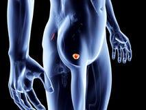 Órgãos internos - próstata ilustração do vetor