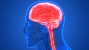 Órgano central del sistema nervioso humano Brain Anatomy ilustración del vector