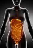 Órganos abdominales femeninos Imágenes de archivo libres de regalías