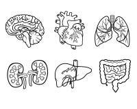 Órganos de la anatomía Fotos de archivo libres de regalías