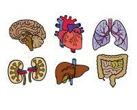 Órganos de la anatomía del color Fotos de archivo libres de regalías