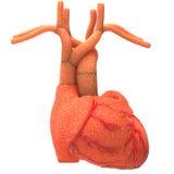 Órganos del cuerpo humano (corazón) Foto de archivo libre de regalías