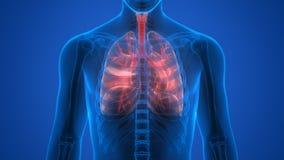 Órganos del cuerpo humano (pulmones) Fotografía de archivo