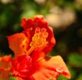 Órganos florales de hibiscos Fotos de archivo libres de regalías