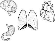 Órganos humanos Foto de archivo