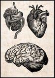 Órganos humanos. Foto de archivo
