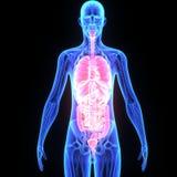 Órganos humanos Imágenes de archivo libres de regalías
