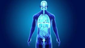 Órganos humanos con el cuerpo esquelético stock de ilustración
