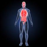 Órganos humanos con la opinión anterior del sistema circulatorio Fotos de archivo libres de regalías