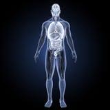Órganos humanos con la opinión anterior del sistema circulatorio Fotografía de archivo libre de regalías