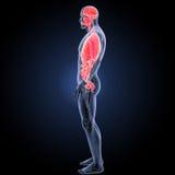 Órganos humanos con la opinión del lateral del sistema circulatorio Foto de archivo libre de regalías