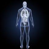 Órganos humanos con la opinión del trasero del sistema circulatorio Fotos de archivo