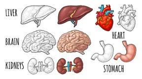 Órganos humanos de la anatomía Cerebro, riñón, corazón, hígado, estómago Grabado del vector libre illustration