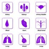 Órganos humanos internos de los iconos para infographic Foto de archivo