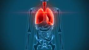 Órganos internos - dolor de los pulmones ilustración del vector